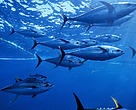 Yellow fin tunas, Pacific ocean, Mexico